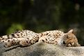 Klicke auf die Grafik für eine größere Ansicht  Name:gepard-muede-beim-chillen.jpg Hits:48 Größe:190,9 KB ID:25