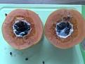 Klicke auf die Grafik für eine größere Ansicht  Name:papaya-schimmlig.jpg Hits:47 Größe:125,4 KB ID:153