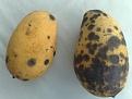 Klicke auf die Grafik für eine größere Ansicht  Name:mangos-schwarze-faulstellen.jpg Hits:48 Größe:120,7 KB ID:155