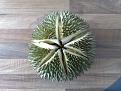 Klicke auf die Grafik für eine größere Ansicht  Name:Durian-Kanyao.jpg Hits:72 Größe:203,6 KB ID:78