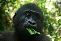 Klicke auf die Grafik für eine größere Ansicht  Name:Faces-Mother-Gorilla.jpg Hits:49 Größe:179,0 KB ID:65